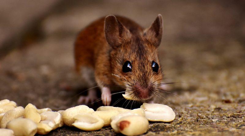 Poradnik: Jak złapać mysz?